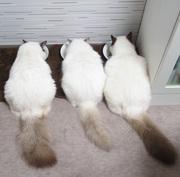 バーマン猫の一週間