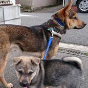 ノラワンコ 飼い犬への道