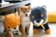初めての柴犬生活  〜茶々日記〜