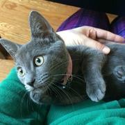 Bibi the gray cat