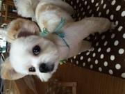 マルプー犬 コロちゃんblog♪
