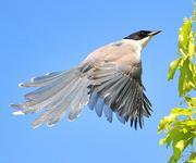 東京の町に住む野鳥たち