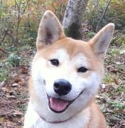 柴犬「ダイク」のブログ