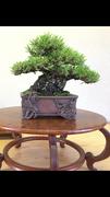daichiのブログ 盆栽