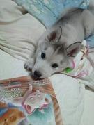ハスキー犬タワラの部屋
