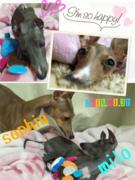 イタグレLife〜sophia☆miloの成長と飼い主の趣味〜