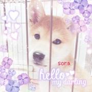 柴犬『ソラ』のんびりブログ