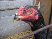 軍鶏と農業