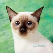 小さな猫ちゃん トイボブ