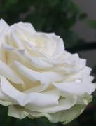 小さな庭で薔薇の時間