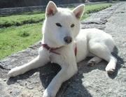"""小さな白い柴犬 """"もみじ"""" のお散歩日記"""