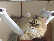 猫のチンチラと楽しい生活!!