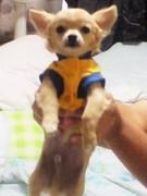 糖尿病の犬のクーちゃん 腎不全と戦う