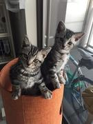 アメショ兄弟猫〜そらりく〜