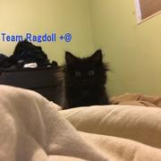 Team Ragdoll +@
