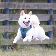 珀ちゃんち!〜白柴犬「珀」の日記〜