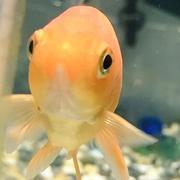 金魚ぐらし!