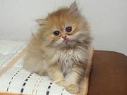 猫のチンチラシルバー・ゴールデンのブリーダーCatter