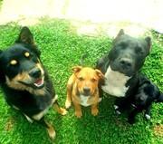 ラオスと犬とわたしとピットブル