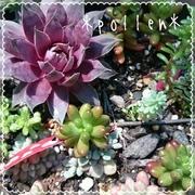 *pollen*小さいお庭で多肉生活