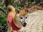 柴犬サキちゃん