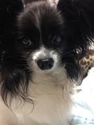 パピヨン犬ブログ「ちょっち小悪魔なお嬢わんこ」