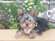 手作り犬クローゼット*リバティ服 桜色の散歩道