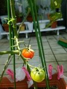 庭でトマトを育てたい
