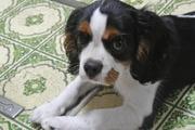 愛犬ルイの育成日記〜キャバリア〜