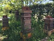 シーボンヌの日本蜜蜂紀行