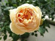 香る薔薇をベランダで♪