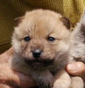 北海道犬 琥珀の記