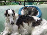 ボルゾイとmix犬親子と猫の金太郎との田舎暮らし