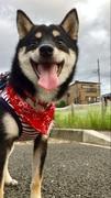 柴犬との生活湘南ライフ