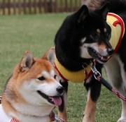 コロ&もみじ 柴犬日記