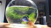 懐くお魚ベタと、ヒカリメダカの小さな世界。