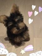 ヨーキー(ヨークシャー・テリア)子犬・「ぺろ」日記