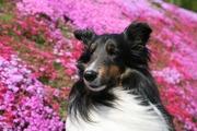 我が家の愛犬 モカ(シェルティ)