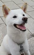 白柴犬「ちび」