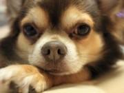犬のクッシング症候群は完治出来る?