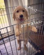 盲導犬候補生、ピーナッツ犬の日常