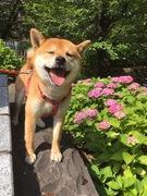 柴犬ゴン太の甲府・街中さんぽ
