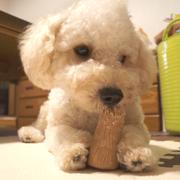 PUNK DOG 十蔵 〜ビション×トイプー〜