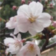 すい臓がんを治す さくらのお花見いこうよ〜