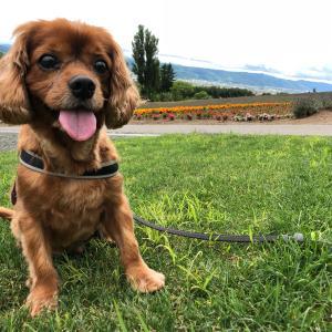 キャバリアでルビーなコジロウの犬生ブログ【前立腺癌とたたかう】