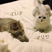 チンチラ美猫.com