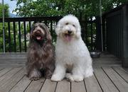 ポーティドゥードルの子犬たち