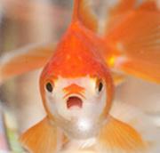 本日も金魚日和|金魚の飼育方法と楽しい日々!