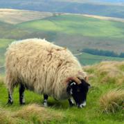 白い羊は夢の中