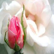 花のつぶやき・浸潤性小葉がん骨転移